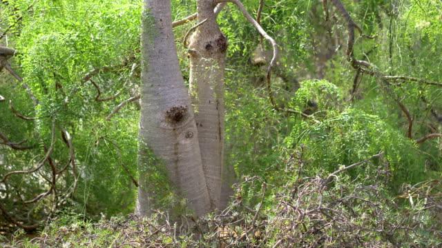 baobab träd i 4k slow motion 60fps - morondava bildbanksvideor och videomaterial från bakom kulisserna