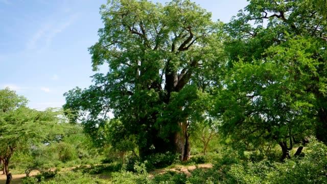 baobab träd i den afrikanska savannen bland snår - morondava bildbanksvideor och videomaterial från bakom kulisserna