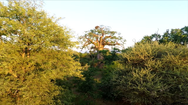 Baobab Tree, Limpopo Province, South Africa The Babobab tree, Adonsonia Digitata their average age in the Limpopo region is between 500-800 years old. baobab tree stock videos & royalty-free footage