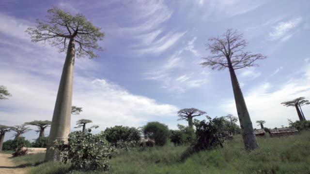 Baobab Trees Avenue of the Baobabs, Madagascar baobab tree stock videos & royalty-free footage