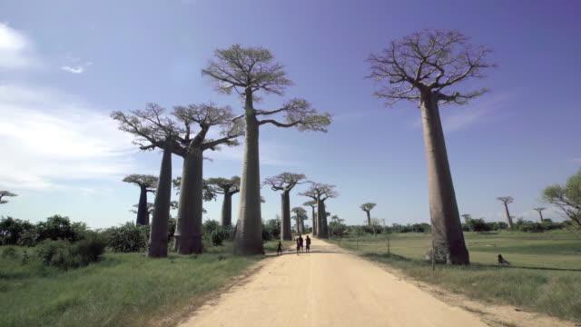 baobab bäumen gesäumt - affenbrotbaum stock-videos und b-roll-filmmaterial