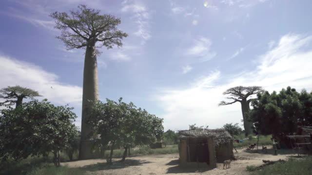 baobab träd - morondava bildbanksvideor och videomaterial från bakom kulisserna
