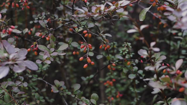 Barberry berry, red rosehip berry, bush with red berry.