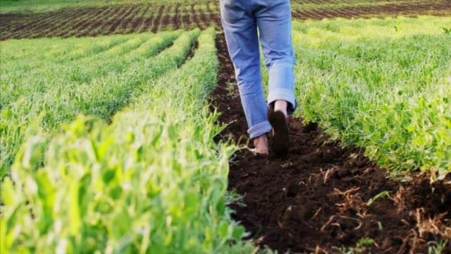 barefoot farmer goes on the ground among the pea beds. - gospodarstwo ekologiczne filmów i materiałów b-roll