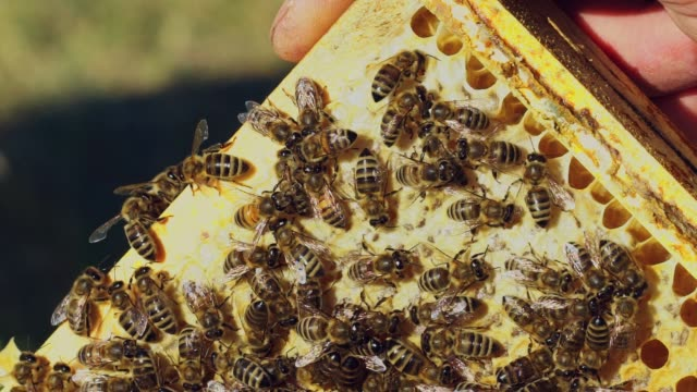 Barehanded man holds a frame with hardworking bees on honeycomb making hexagonal wax pattern.