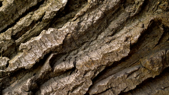Bark of brown wood closeu p rotates. Tree pine or oak. Macro tree is like rocks. Bark of brown wood close-up rotates 4k. Tree pine or oak. Macro of a tree is like rocks taken from a quadcopter. Clear place for your text. Empty space for your title Copyspace logo to blank design. plant bark stock videos & royalty-free footage