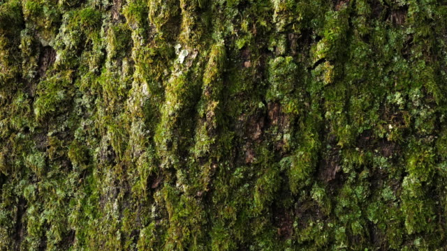 bark of oaks covered by moss and lichen - muschio flora video stock e b–roll