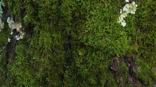 stockvideo's en b-roll-footage met schors van eiken die door mos en korstmos worden behandeld - video's van beauty