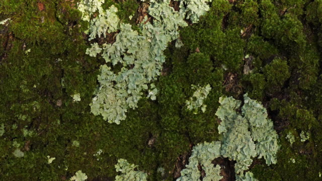 Bark of oaks covered by moss and lichen