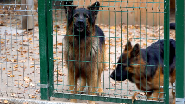 A barking, angry, big, brown and dangerous dog walks behind a fence. The dog is barking loudly. video