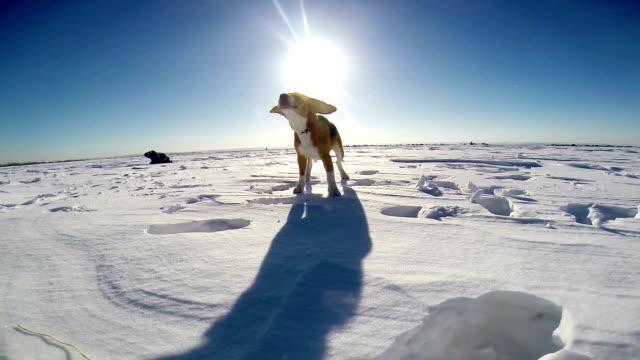 Barking perro beagle en el campo de la nieve - vídeo