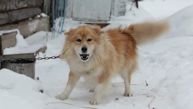 Barking chained dog in winter garden on snow video