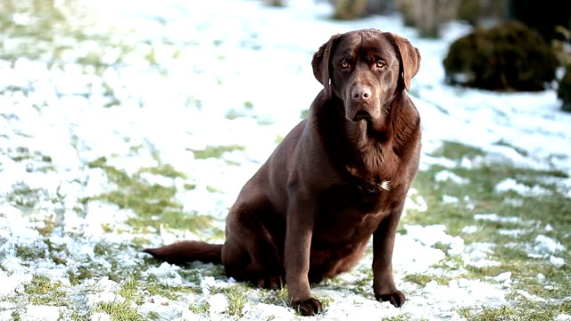 barking chocolate Labrador isolated on a white background video
