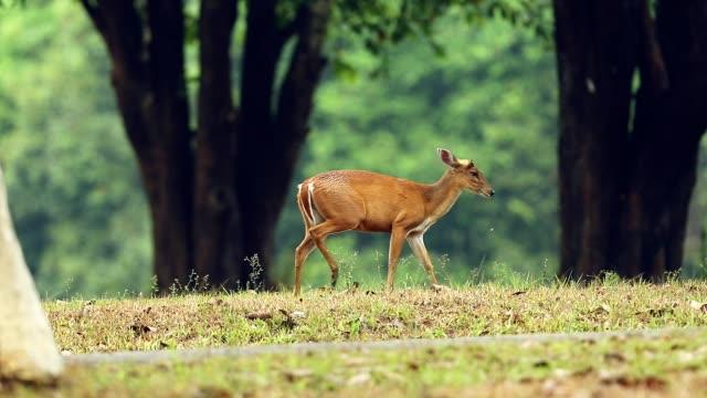 barking deer walking in the forest, slow motion - jeleniowate filmów i materiałów b-roll