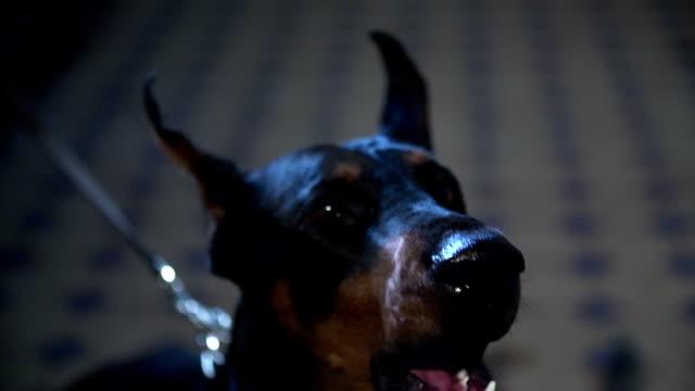 Barking doberman shot in slow-mo Barking doberman shot in slow-mo coonhound stock videos & royalty-free footage