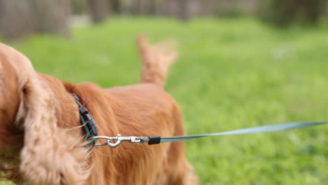 Barking dog on the leash outdoors video