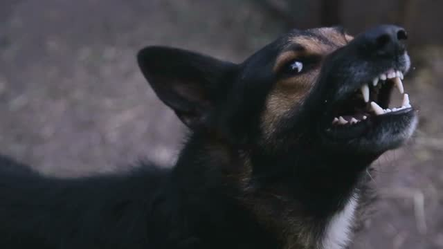 Barking enraged shepherd dog outdoors