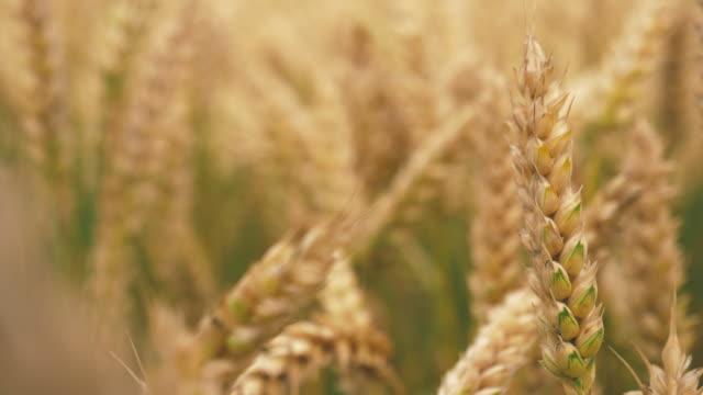 Barley Crop Field in Close Up video