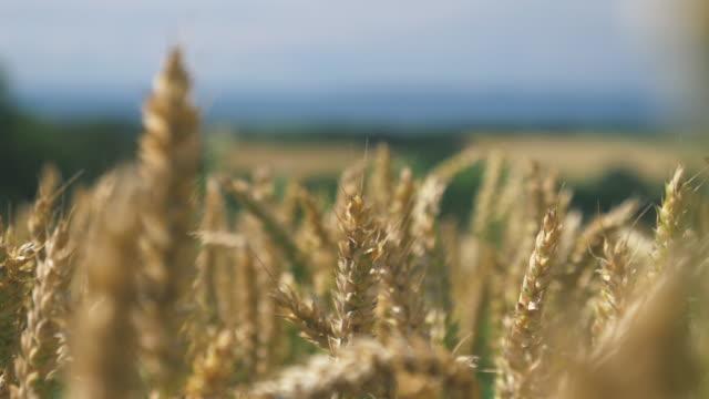 Barley Crop Field in Close Up Handheld close-up shot of grain plants in a field of barley crop. Shot during summer in Sweden in 4K resolution. rye grain stock videos & royalty-free footage