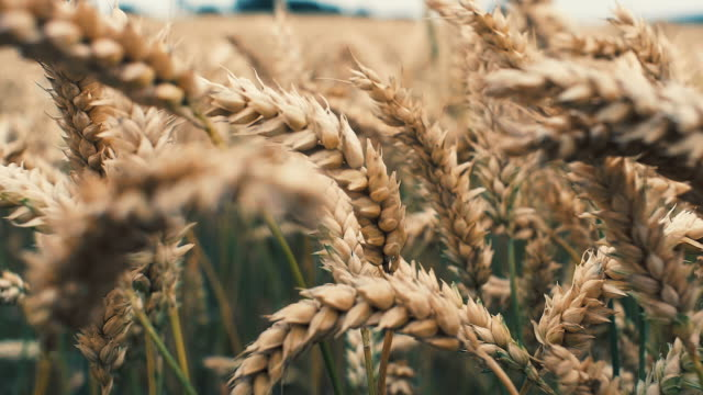 barley crop field in close up - orzo video stock e b–roll