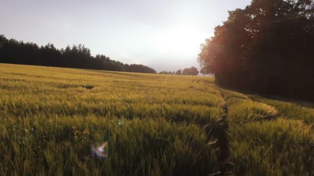 aerial korn fältet vid skogskanten våren (4k/uhd) - på gränsen bildbanksvideor och videomaterial från bakom kulisserna