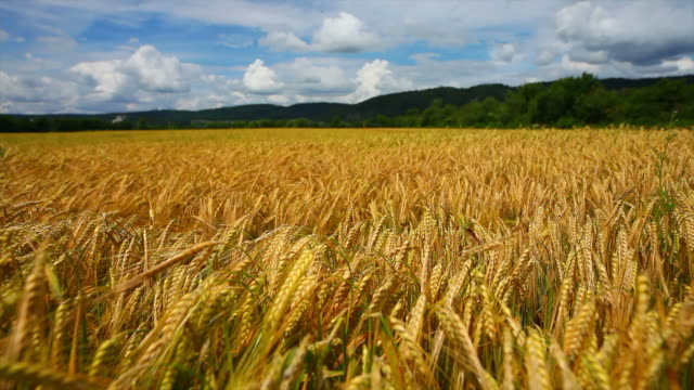 大麦フィールドで初夏のトラッキングショット - 大麦点の映像素材/bロール