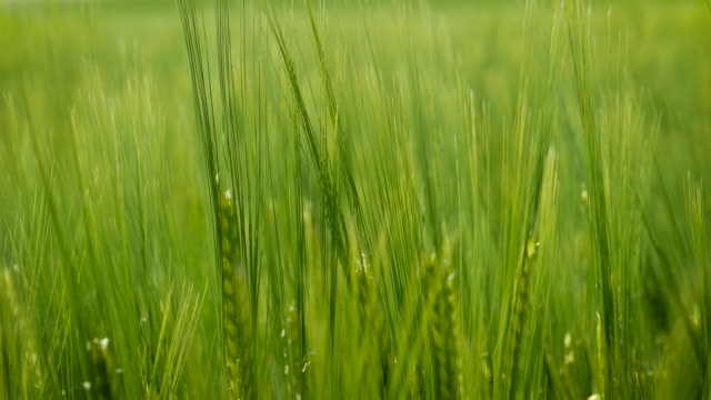 Barley field in the wind - Close up