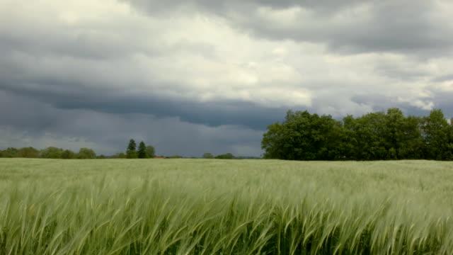 Barley Field in the Wind video