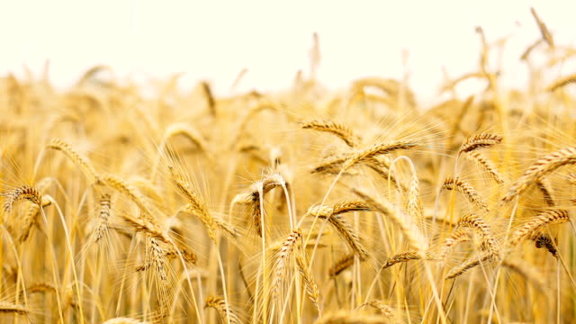 Barley, Food, Wheat, Field, Harvest, Grains Bustion video