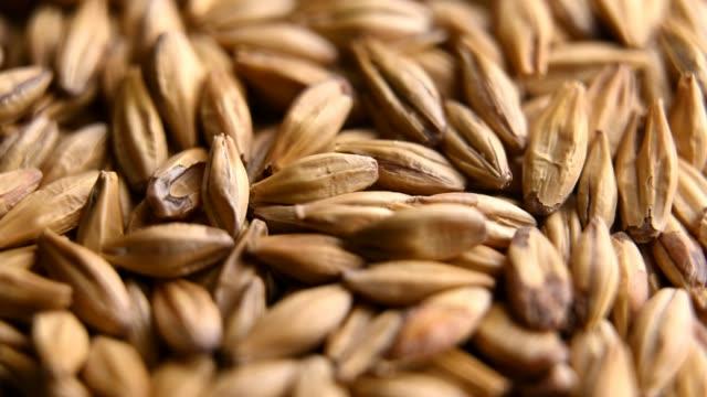 ビールやウイスキーを作るための大麦麦芽 - 大麦点の映像素材/bロール