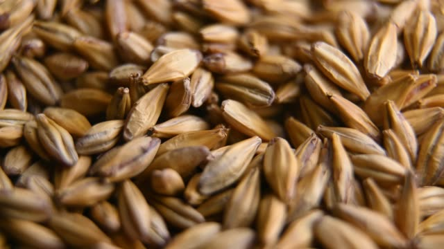 barley malt for making beer or whiskey - orzo video stock e b–roll