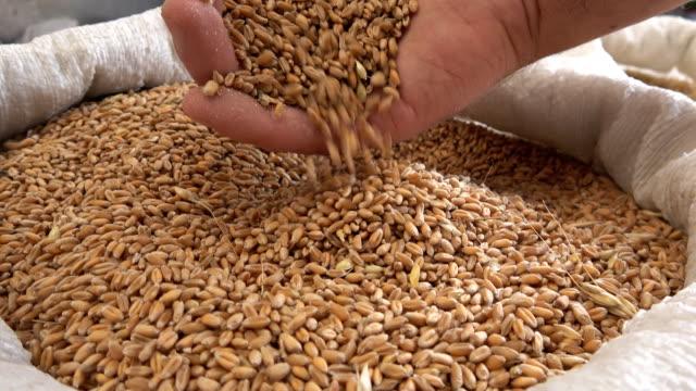 オオムギ種子の袋に - 大麦点の映像素材/bロール