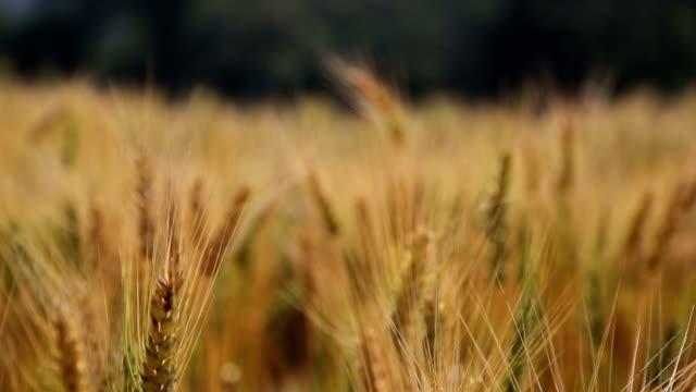 Barley video