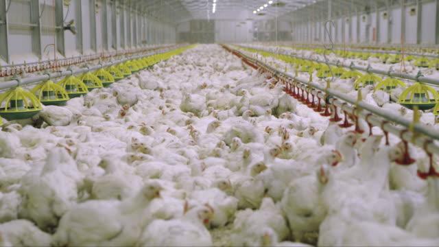 vídeos de stock, filmes e b-roll de ds celeiro cheio de galinhas - ave doméstica