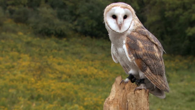 Barn owl in forest video