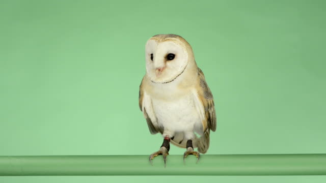 Barn owl perched and looking around, green key video