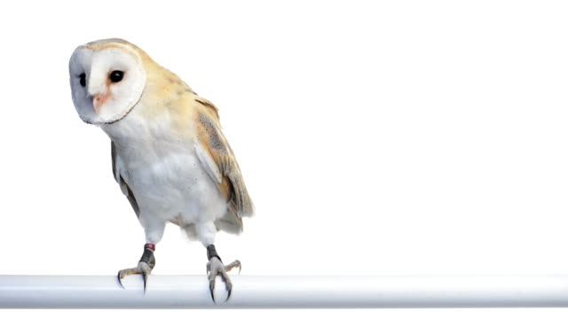 stockvideo's en b-roll-footage met barn owl perched and looking around - uil