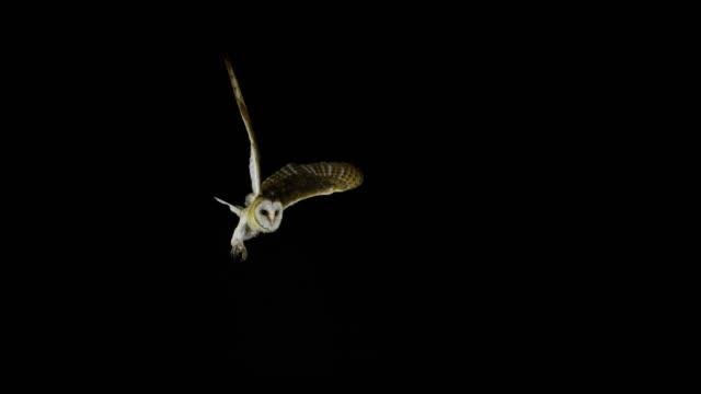 Barn Owl, tyto alba, Adult in flight, Normandy, Slow Motion 4K Barn Owl, tyto alba, Adult in flight, Normandy, Slow Motion 4K normandy stock videos & royalty-free footage