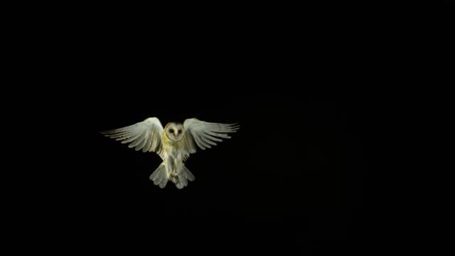 barn owl, tyto alba, adult in flight, normandy, slow motion 4k - птица стоковые видео и кадры b-roll