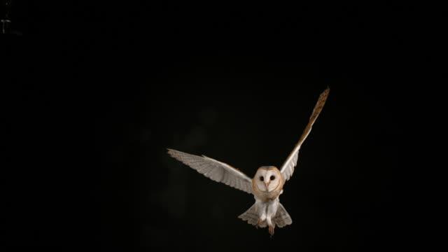 schleiereule, tyto alba, erwachsenen während des fluges, normandie, slow-motion 4k - fliegen stock-videos und b-roll-filmmaterial