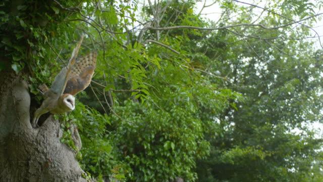 Barn Owl, tyto alba, Adult in flight, Taking off, Normandy, Slow Motion 4K Barn Owl, tyto alba, Adult in flight, Taking off, Normandy, Slow Motion 4K bird of prey stock videos & royalty-free footage