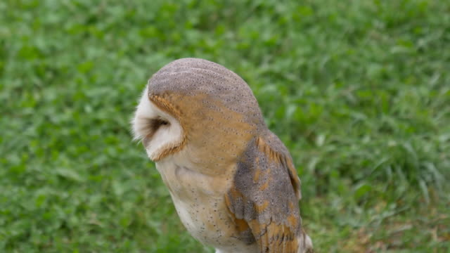Barn Owl - video