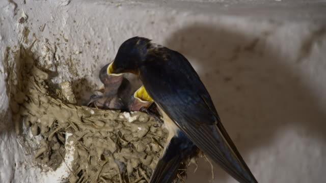 LS Barn swallow bird feeding chicks video