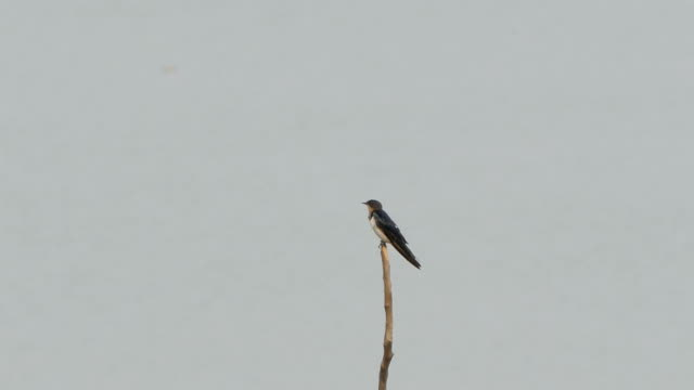 Barn Swallow bird on branch in wetland. video