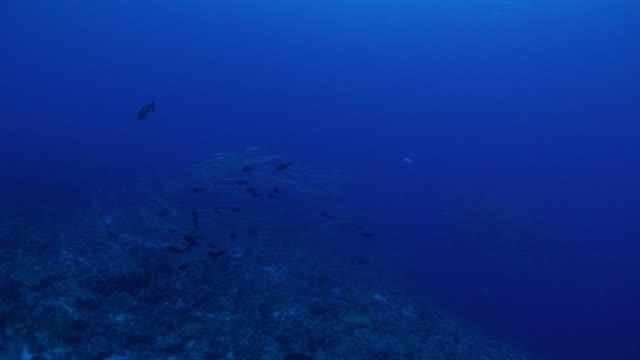 Barracuda, jackfish, school of fish, sea reef video