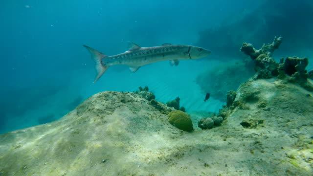 barracuda on the reef in Virgin Gorda video