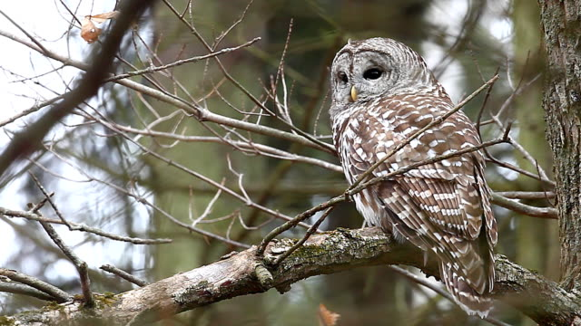 Barred Owl, Strix varia, in a tree. video