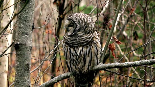 barred owl  - kamuflaż filmów i materiałów b-roll