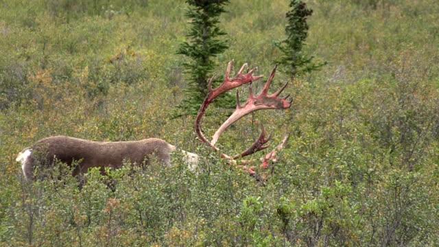 Barren Ground caribou Bull in Velvet video