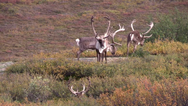 Barren Ground Caribou Bulls in Velvet video